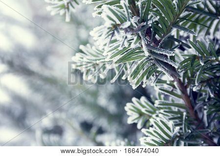 a sprig of spruce covered with snow as a background