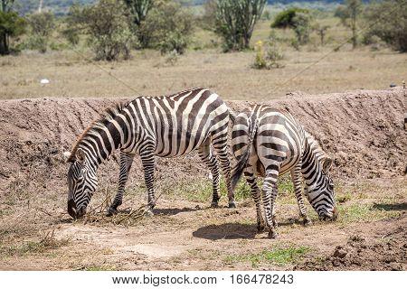 Wild Zebras Grassing On Savanna, Kenya