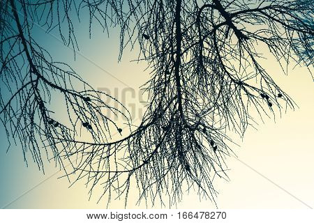 Branches Of Larch Tree Over Empty Sky