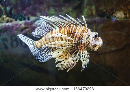 Red lionfish in aquarium. Underwater life picture