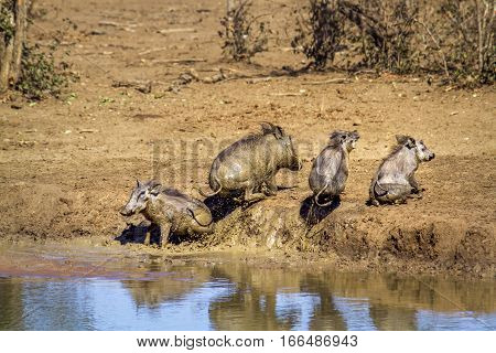 Common warthog in Kruger national park, South Africa ; Specie Phacochoerus africanus family of