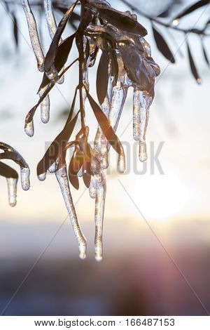 Iced Tree Branches