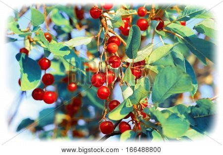 Red chokecherry in summer garden. Turquoise toned image