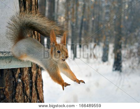 Cold winter around and red squirrel jumpis forward from tree