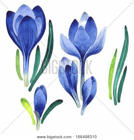 Wildflower crocuses flower in a watercolor style isolated. Full name of the plant: crocuses, saffron. Aquarelle wild flower for background, texture, wrapper pattern, frame or border.