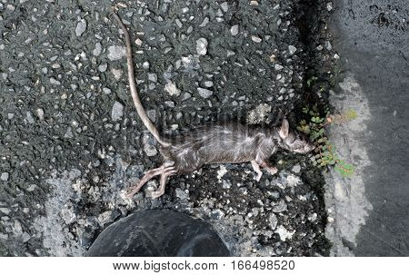 A dead mouse lays on the roadaccident by car