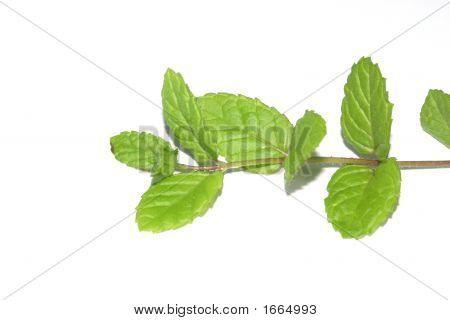 Mint Branc