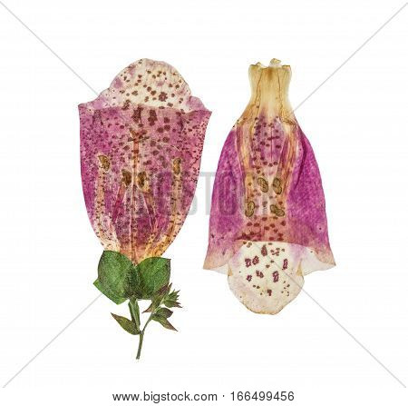 Pressed and dried delicate pink flowers foxglove. Isolated on white background. For use in scrapbooking floristry (oshibana) or herbarium.