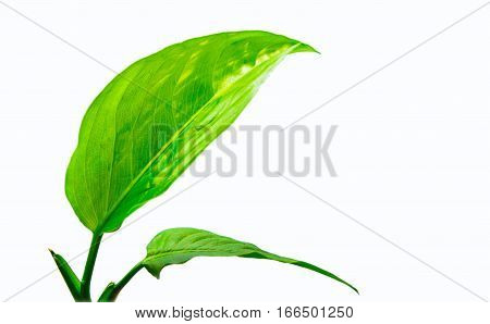 two green leaves on white backgroundsolated freshness green nature leaf foliage closeup