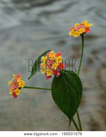 Close up of a colourful flowering lantana camara plant with a river flowing background.