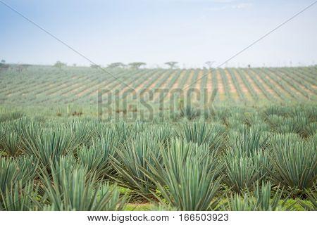 Big Sisal Plantation