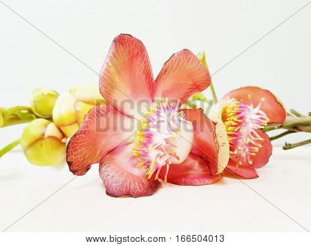 Close Sal flowers blooming beautiful on white background,Fresh and blooming Shorea robusta or Cannonball flower.