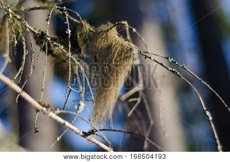 Lichen Usnea On Branches