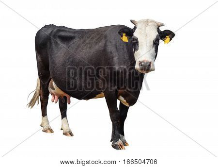 Funny cute cow isolated on white. Black and white cow looking at the camera . Funny curious cow. Farm animals. Cow, standing full-length in front of white background, Pet cow on white.