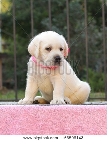 The Little Labrador Puppy On A Pink Background