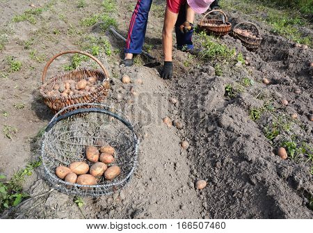 Fresh potatoes in farmer's hands. Harvesting Potatoes In The Home Garden. Potato gathering.
