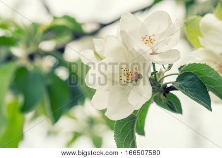 Beautiful fragrant apple flower om a tree blossoming in spring
