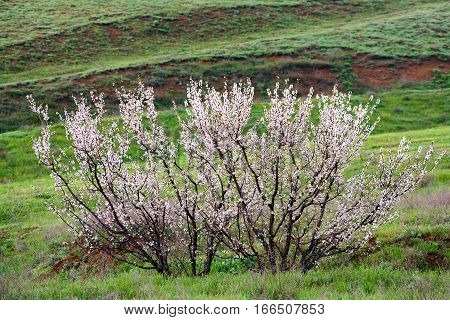Scenic view of steppe with wild apricot tree in bloom