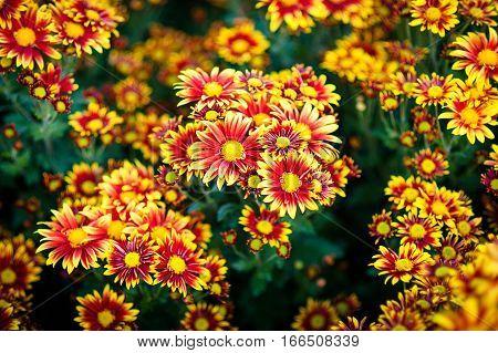 Yellow and orange chrysanthemums. Chrysanthemum background. Chrysanthemum pattern