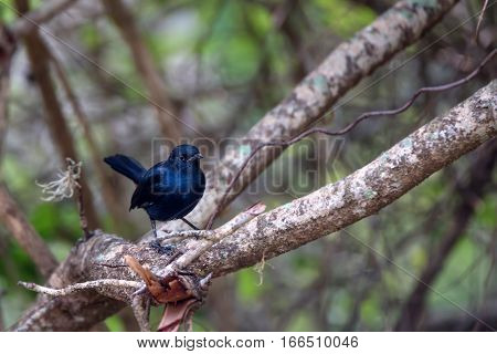 Indian robin or Saxicoloides fulicatus leucopterus subspecies from Sri Lanka