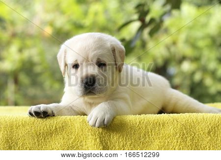 A Little Labrador Puppy On A Yellow Background