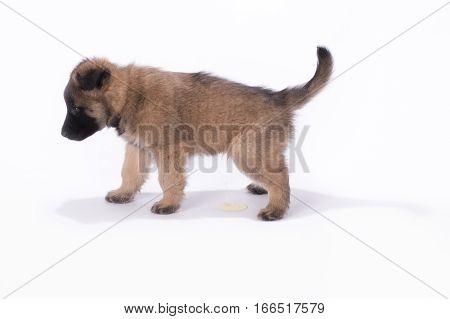 Puppy dog Belgian Shepherd Tervuren peeing on white studio background