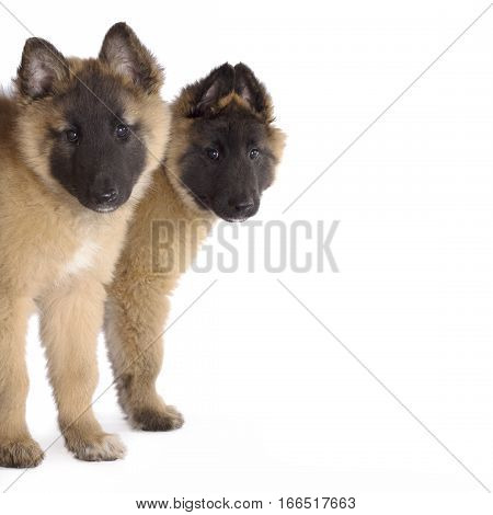Two puppies dogs Belgian Shepherd Tervuren, white studio background