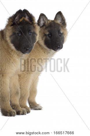 Two puppies Belgian Shepherd Tervuren isolated background