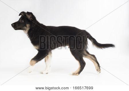 Puppy dog Border Collie on white studio background