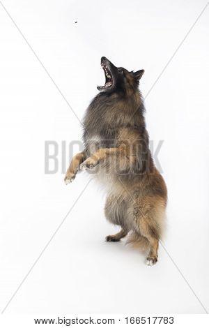 Dog Belgian Shepherd Tervuren catching treat on white studio background