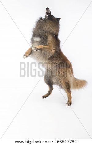 Dog Belgian Shepherd Tervuren jumping white studio background
