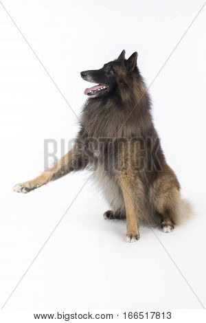 Dog Belgian Shepherd Tervuren sitting with front paw up on white studio background