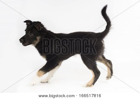 Puppy dog Border Collie tricolor on white studio background