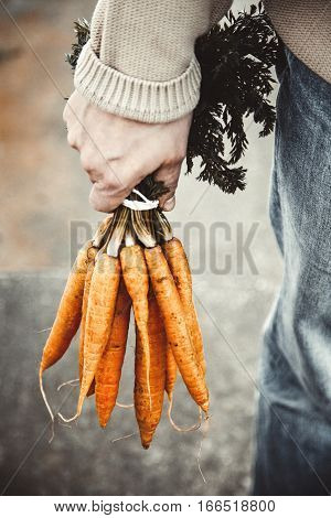 Organic vegetables. Healthy food. Fresh organic carrots in farmers hands