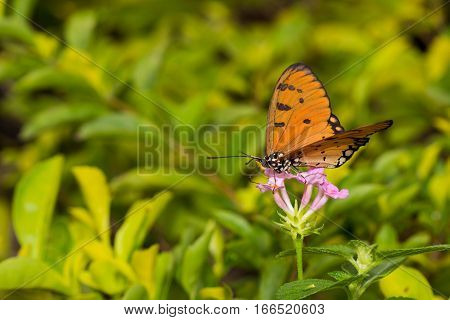 Butterfly Tawny Coster (acraea Violae)