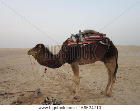 the saddled camels wait for the drivers