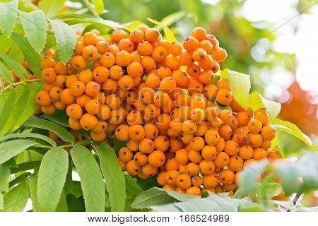 Yellow ripe rowanberry branch in summer day