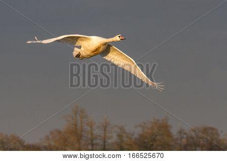 Mute Swan (Cygnus Olor) in flight in beautiful light