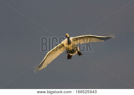 Bewick's Swan (Cygnus columbianus) in flight towards camera