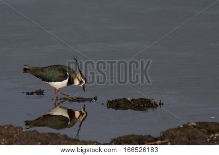 Lapwing (Vanellus vanellus) reflection in water of a lake