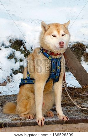 Red Sled Husky dogs. Working sled dogs of the North. Husky sledding in the winter. North active dog in the harnesses to drive.