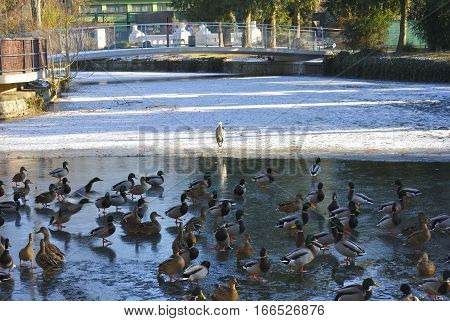 Flock of ducks and gray heron on a frozen lake in Croatia.