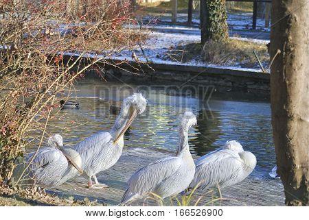 White Dalmatian pelicans (Pelecanus crispus) are preening its feathers in winter. In Zagreb Zoo, Croatia.