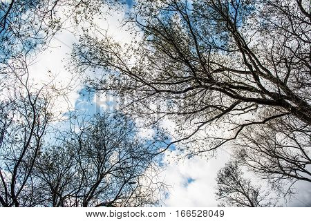 Bare tree branches silhouettes crossing blue sky background. View of leafless treetops from the ground during winter.
