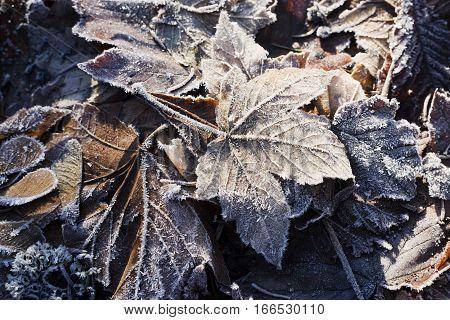 Hoarfrost on dry leaves in winter season