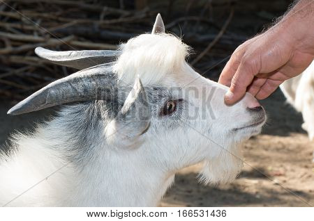 Farmer hand that stroked the goat. Close up portrait of a goat.