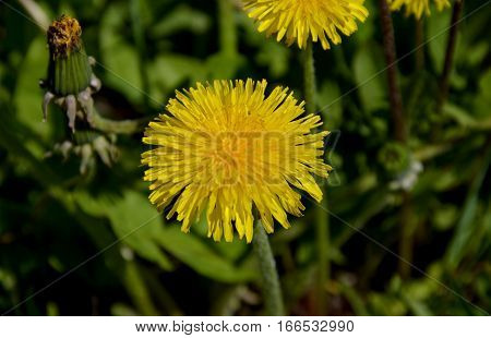 Dandelion. Spring dandelion. Flowering dandelion.  Spring flower. Yellow flower.