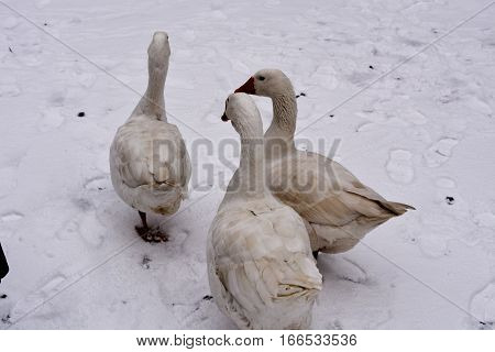 poultry geese in rural yard in the snow white