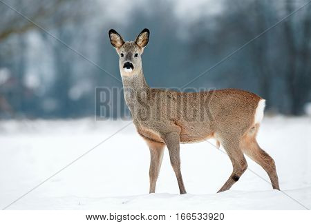 Young male roe deer without antlers during winter time