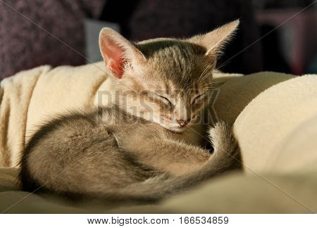 Beautiful Abyssinian Kitten
